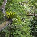 Birdnest fern/'ēkaha (Asplenium nidas) within Waimea Valley Botanical Garden.- Waimea Valley Botanical Garden + Cultural Center