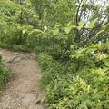Honeysuckle welcome you to the mountain.- Breakneck Ridge