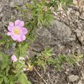 Pink wild roses grow along the way.- Breakneck Ridge