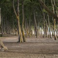 Ironwood (Casuarina equisetifolia) grove at Waimanalo Bay Beach Park Campground.- Waimanalo Bay Beach Park Campground