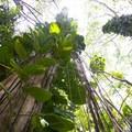 Pothos vine (Epipremnum pinnatum) hanging tight on trees along the trail to Maunawili Falls.- Maunawili Falls Hike