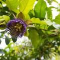 Unidentified passion flower species.- Maunawili Falls Hike