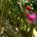Mountain apple (Eugenia malaccensis) along the trail to Maunawili Falls.- Maunawili Falls Hike