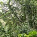 Dense forest foliage along the Maunawili Falls Trail.- Maunawili Falls Hike