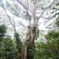 A giant Moluccan albizia (Paraserianthes falcataria) tree along the hike to Mānoa Falls.- Mānoa Falls Hike
