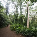 Moluccan albizia (Paraserianthes falcataria) grove along the Mānoa Falls.- Mānoa Falls Hike