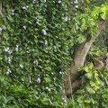 Lush vegetation along the trail to Mānoa Falls. - Mānoa Falls Hike
