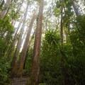 Eucalyptus robusta along the trail to Mānoa Falls.- Mānoa Falls Hike