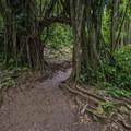 The Banyon Tree Arch along the trail to Mānoa Falls.- Mānoa Falls Hike