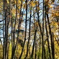 Fall foliage along the Wildwood Trail.- Wildwood Trail