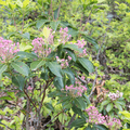 Pink mountain laurel (Kalmia latifolia).- The North Ridge