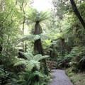 A tree fern en route to the beach.- Hokitika Gorge