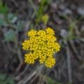 Whiskbroom parsley (Harbouria trachypleura) flowers.- Mount Elbert East Ridge Hike