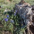 Shortstyle bluebells (Mertensia brevistyla).- Mount Elbert East Ridge Hike