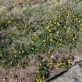Alpine aven (Geum rossii).- Mount Elbert East Ridge Hike