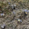 Unidentified wildflowers.- Mount Elbert East Ridge Hike