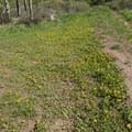 Alpine aven (Geum rossii) flowers along the trail.- Mount Elbert East Ridge Hike