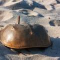 A horseshoe crab shell.- Delaware Seashore State Park