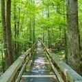 The Cypress Dismal Swamp Boardwalk.- Big Hill Pond State Park