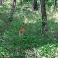 A white-tailed deer (Odocoileus virginianus) doe.- Big Hill Pond State Park