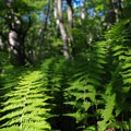Ferns cover the forest floor along the trail.- Stony Man via Little Stony Man Trail