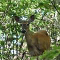 White-tailed deer.- Stony Man via Little Stony Man Trail