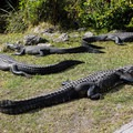 Alligators sunning themselves along the trail near the viewing tower.- Shark Valley Visitor Center