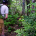 The forest is a dense mix of conifer and deciduous trees.- Mount Mansfield via Hell Brook + Long Trails