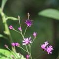 Spring flowers.- Blue Spring State Park