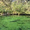 Manatees resting in the spring run.- Blue Spring State Park