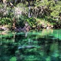 West Indian manatees.- Blue Spring State Park