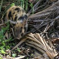 Young wild boar foraging along the bank.- Blue Spring State Park