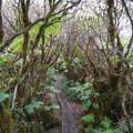 The flat-topped mountain has a bog and cloud forest.- Mount Ka'ala