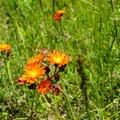 Orange hawkweed (Pilosella aurantiaca).- Red Trail