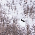 A resting moose near the trail.- Little Black Mountain