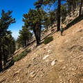 Old-growth pine trees surround you in this alpine forest ecosystem.- Mount Islip from Islip Saddle