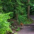 A deer in the distance along the Falls Trail.- Ricketts Glen State Park