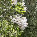 White mountain laurel (Kalmia latifolia).- The North Ridge