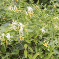 Honeysuckle (Lonicera).- The North Ridge