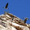Canada geese flying through the canyon.- Colorado River: Ruby Horsethief Canyon