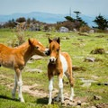 Two foals playing while their mothers graze.- Grayson Highlands State Park to Mount Rogers