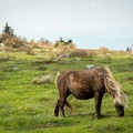 A pony grazing in the flats on the Appalachian Trail.- Grayson Highlands State Park to Mount Rogers