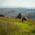 A herd of ponies near the Thomas Knob Shelter.- Grayson Highlands State Park to Mount Rogers
