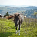 The friendly ponies are very used to humans.- Grayson Highlands State Park to Mount Rogers
