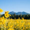 Morning light on the flowers.- Fort Valley Flower Field