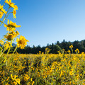 A field surrounded by ponderosa pines.- Fort Valley Flower Field