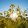 Sun rising behind a tall patch of flowers.- Fort Valley Flower Field