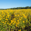 July and August is the best time to catch the bloom.- Fort Valley Flower Field