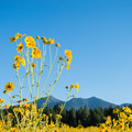 The San Francisco Peaks are the tallest mountains in Arizona.- Fort Valley Flower Field