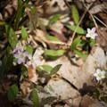 Wildflowers along the trail.- Mount Pisgah via South Trail